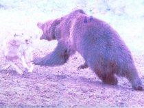 Испытание лаек по медведю