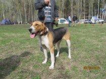 ДОБЫЧКА 45 Новосибирска обл.выставка собак охотничьей породы.
