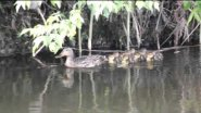 Duck with ducklings. Утята на речке