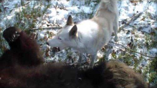 Охота на медведя в Сибири. НЕЖДАНЧИК!