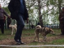 Выставка охотничьих собак г. Кемерово