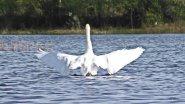 Лебеди на озере, кормятся. Full HD 1080p. Республика Коми. Лебедь-Шипун.