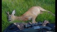 Охота на косулю с манком в РБ, ИЖ 18мн 308вин. Что надо для охоты? Итог охоты!