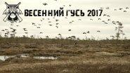 Охота на  гуся.Весна 2017. Национальная Лига Охоты.