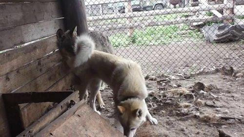 Волк по кличке Вой и лайка