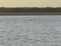 Как никогда утки много нынче на озере.