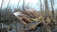 Подсадная утка и охота с ней #6. Удачная охота весной на селезня кряквы.