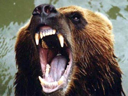 Медведь на Северном объезде