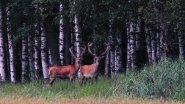Дикая природа Беловежской пущи. Благородный олень. The Wild Nature Of Belovezhskaya Pushcha. Deer.
