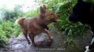 Подготовка щенка лайки к охоте