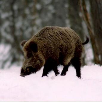 В Новосибирской области могут ввести режим ЧС из-за африканской чумы свиней
