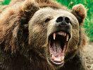 Начинается приём заявлений на выдачу разрешений на добычу медведя