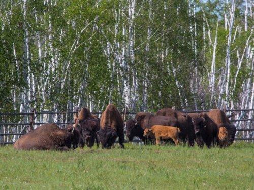 В Якутии появится новый объект охоты?