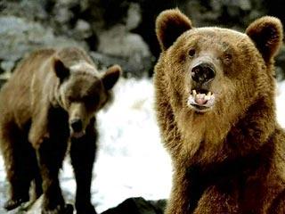 Медведи на Мочищенском шоссе