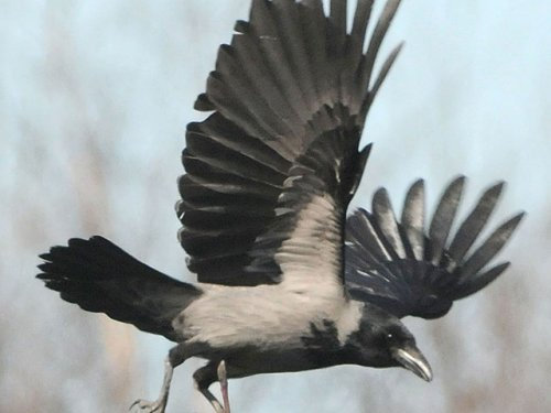Начинается регулирование численности серой вороны