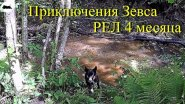 Щенок Русско-Европейской лайки (4 месяца)