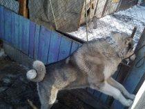Маркиз  отец моего щена  Байкала