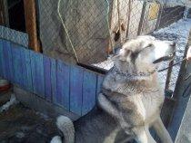 Отец моего  щенка  Байкала