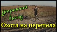 Охота на перепела. Утренний выход. Охота в Томской области 2017.