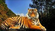 В логово Амурского тигра. Тайга для охотника как дом родной.