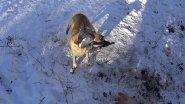 Охота на дикого лесного голубя вяхеря витютьня с собакой лабрадор ритривер на юге России 18.12.2016г