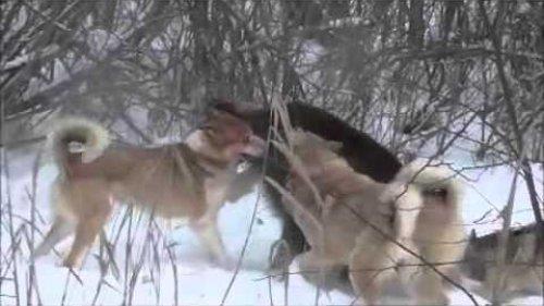 Охота на кабана со Штыком, Гулей, Симой и Тайгой