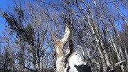 Охота на дикого лесного голубя вяхерь витютень с собакой лабрадор ритривер 14 12 2016 г .