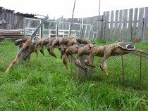 Крякаши с пшеничного поля....