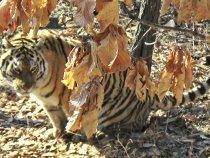 Тигр Амурский.