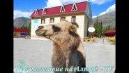 Дружелюбные верблюды на Алтае.