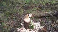 Охота...Бобер завалил лес...