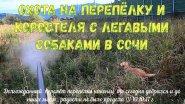 Охота на перепёлку и коростеля с легавыми собаками в Сочи 10.10.2017 г .