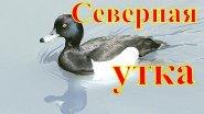 Долгожданная северная утка.
