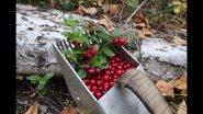 """Цикл """"Дары Тайги"""". Брусника, сбор, перебираем ягоду, попал под дождь."""