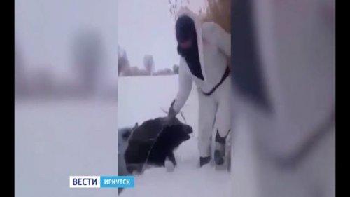 """Охотников, спасших кабанов из полыньи в Иркутском районе, ищут для награждения, """"Вести-Иркутск"""""""