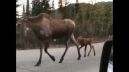 Семья лосей гуляет по дороге Denali National Park