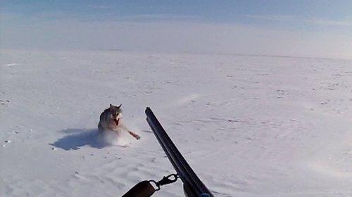 Охота на волков в Казахстане. «Регулирование популяции» со снегоходов...