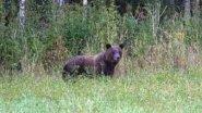 Охота на медведя на овсах с вышки. Наглядно и в хорошем качестве