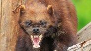 ВЕРСУС. РОСОМАХА!  Её боятся волки и даже медведи!!!