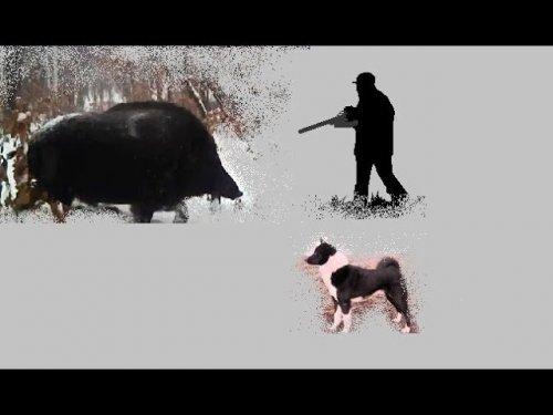 Об охоте на кабанов