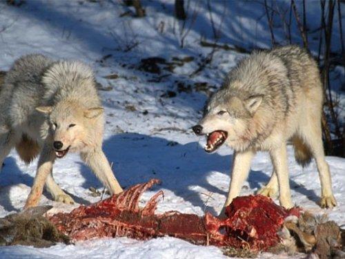 В четырёх областях Казахстана введут двухлетний мораторий на отстрел волков