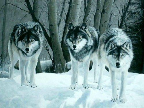 Волки: охота с чердака. Николай Рогачев.