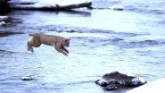 Самый красивый прыжок рыси снятый человеком! Jumping Bobcat.