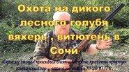 Охота на дикого лесного голубя вяхерь витютень в Сочи 20.10.2017 г .