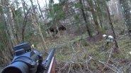 Охота #117 загонная, работа собак, лоси, кабаны