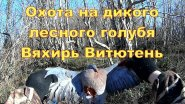 Охота на дикого лесного голубя Вяхирь Витютень 28 12 17 г