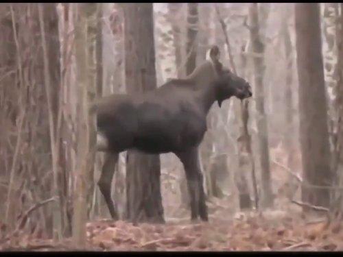 Hunting animals and hunting in Belarus. Охота в Беларуси