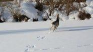 Охота троплением на сибирскую косулю.