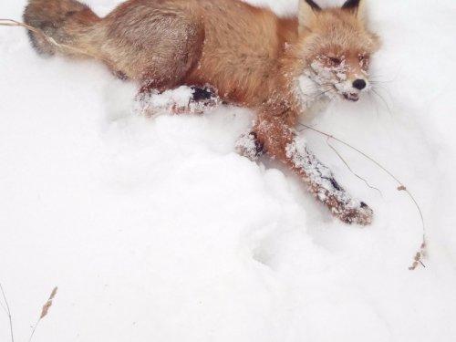 Моя первая лисичка в жизни))))