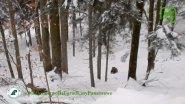 Нападение волков на медведей. Польша. 23.12.17
